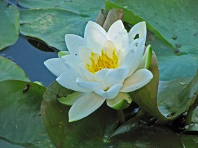 Water lily - White 'Marliacea Albida'