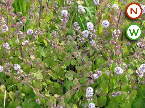 Water mint Mentha aquatica