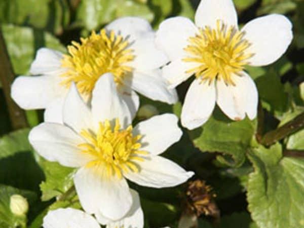 White Marsh marigold Caltha plustris var. alba
