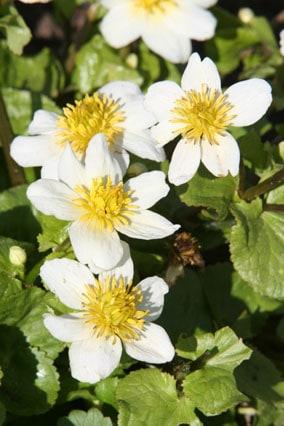 White Marsh marigold Caltha palustris var. alba