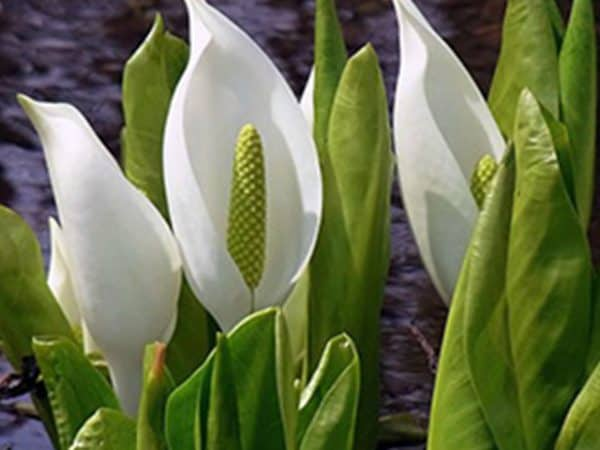 White Skunk Cabbage Lysichiton Camtschatcensis