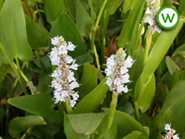 Pontederia cordata alba (white pickerel)