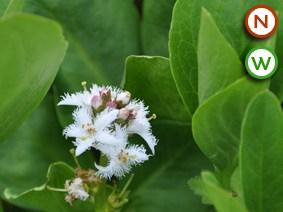 Bog bean (Menyanthes trifoliata)