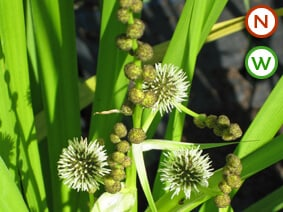 branched bur reed close up