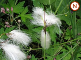 Common Cotton grass (Eriophorum angustifolium)