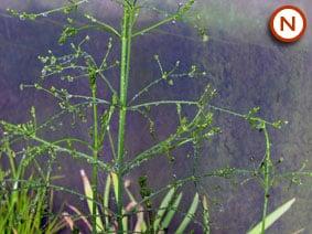 Water plantain Alisma plantago-aquatica