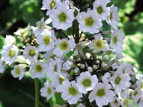 White Primula Primula Japonica 'Alba'