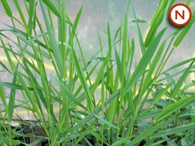 ribbon grass - canary grass