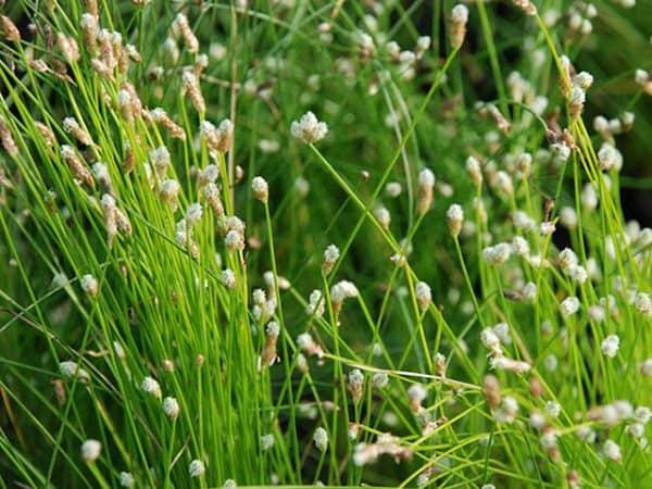 Fibre optic plant (Scirpus cernuus)