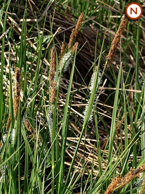 slender tufted sedge