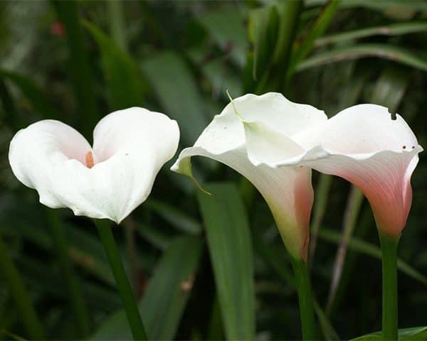 Zantedeschia 'Kiwi Blush' (Arum lily)