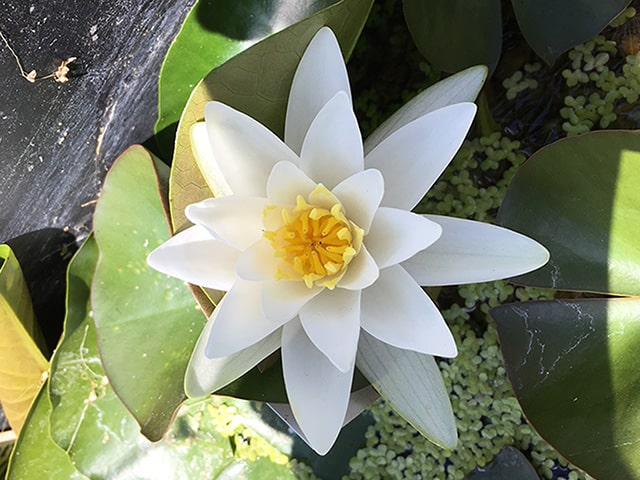 Water lily (Nymphaea) 'Candida'
