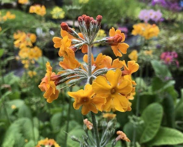 Primula bulleyana (Bulley's primrose)