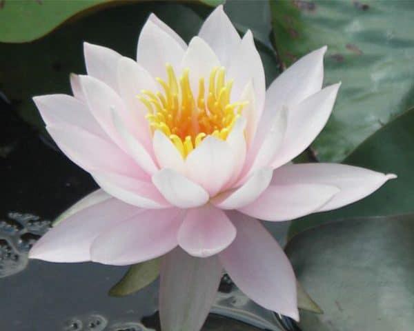 Water lily (Nymphaea) Odorata 'William B. Shaw'