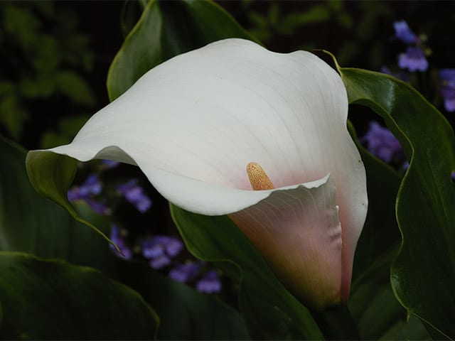 Zantedeschia 'Marshmallow' (Arum lily)
