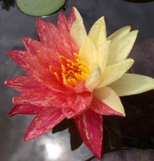 Water lily (Nymphaea) 'Wanvisa'