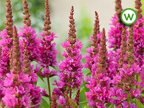 Purple loosestrife (Lythrum salicaria) 'Robert'