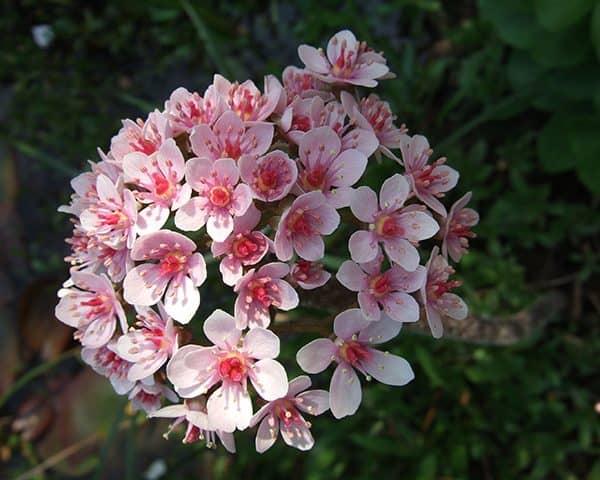 Darmera peltata (Umbrella plant)