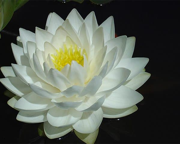Water lily (Nymphaea) 'Gonnere'