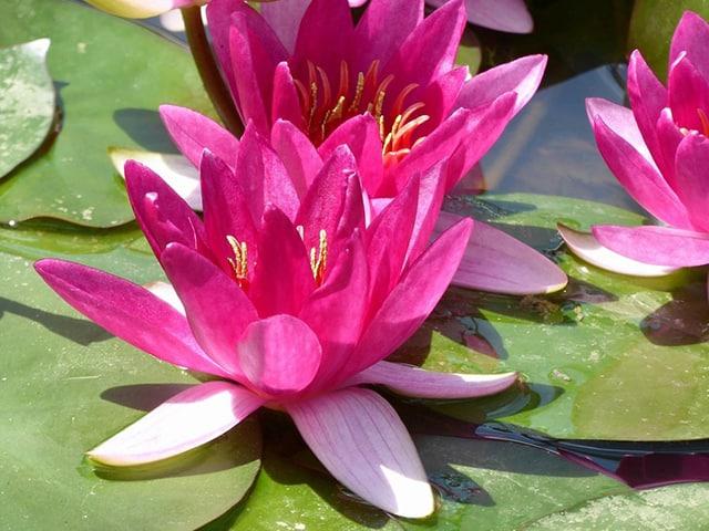 Water lily (Nymphaea) Xiafei