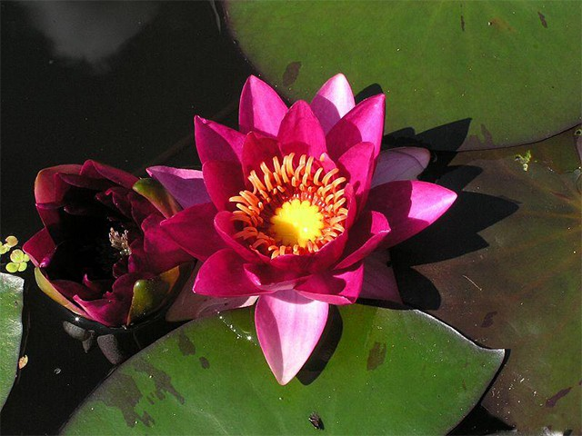 Water lily (Nymphaea) 'Laydekeri fulgens'