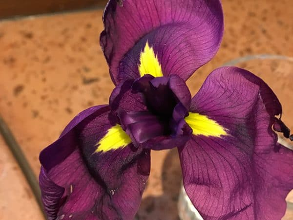 Iris ensata 'Ruby King'