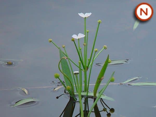 Lesser water plantain (Baldellia ranunculoides)