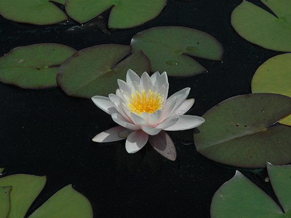 Water lily (Nymphaea) 'Colossea'