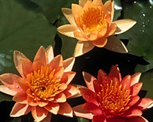 Water lily (Nymphaea) 'Sioux'