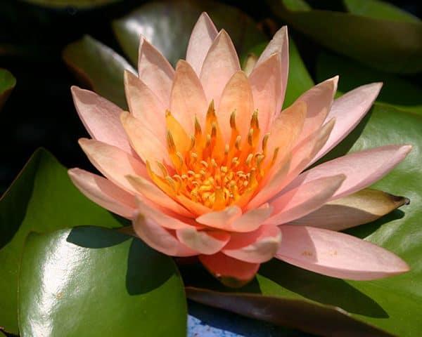 Water lily (Nymphaea) 'Colorado'