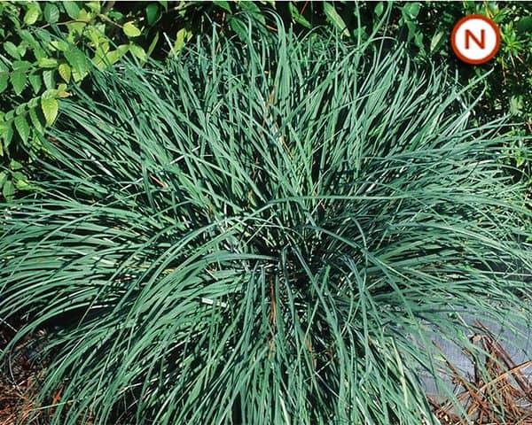 Glaucous sedge (Carex flacca)
