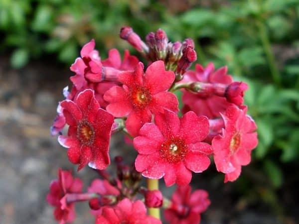 Primula japonica 'Miller's Crimson (Pf) (Japanese primrose)
