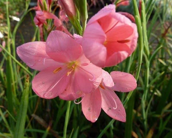 Crimson flag lily 'Mrs Hegarty' (Schizostylis coccinea 'Mrs Hegarty')