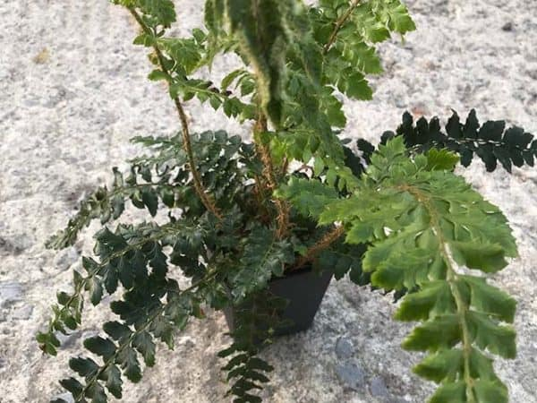 Japanese lace fern (Polystichum polyblepharum)