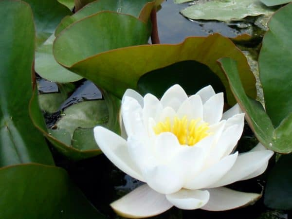 Water lily (Nymphaea) 'Candidissima'