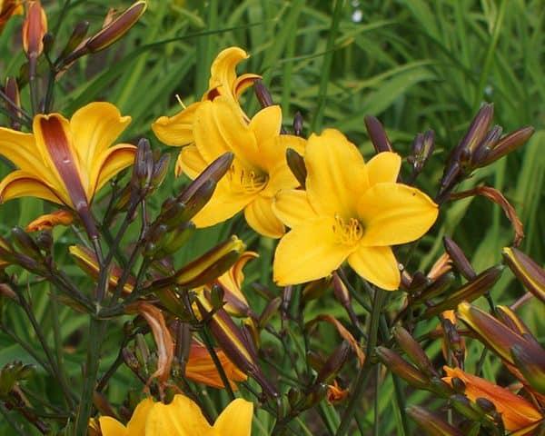 Daylily (Hemerocallis) 'Golden Chimes'